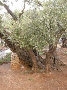 Olive Trees outside the Church of All Nation by the Garden of Gethsemane.  Picture via Wikipedia